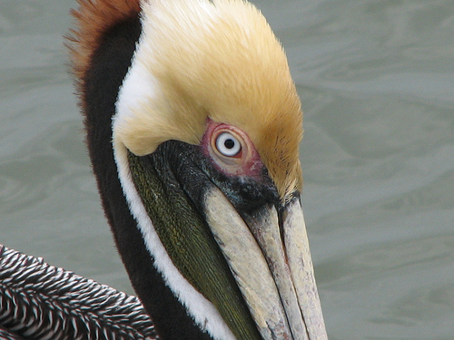 Pelican Original