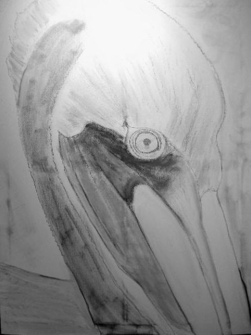 Pelican Edited Drawing